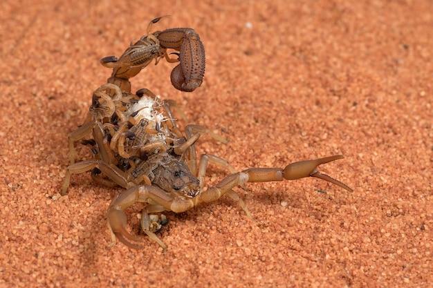 Scorpion przynosi dzieci na plecach