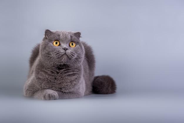 Scottish fold mały uroczy kociak w kolorze niebieskim