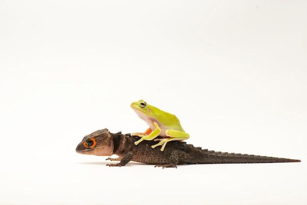 Scynk krokodyl na białym tle