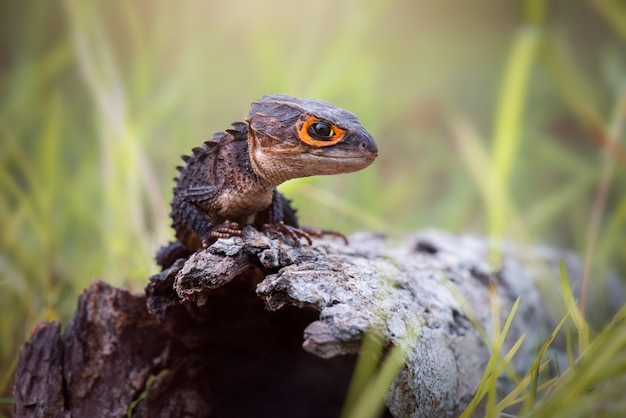 Scynk krokodyla na drewnie w tropikalnym lesie