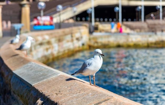 Sea gull na wybrzeżu sydney - australia, nowa południowa walia