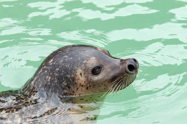 Sea lion pływanie w wodzie
