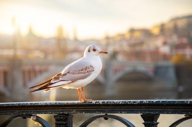 Seagull chiling wśród praga kasztelu, zmierzchu nieba i rzeki vltava w praga, republika czech