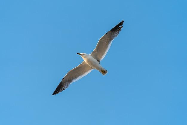 Seagull latanie w niebieskim niebie