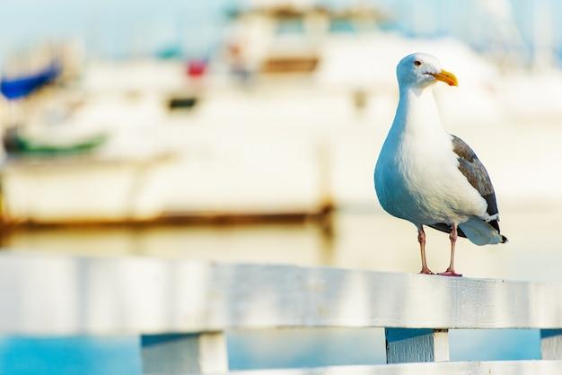 Seagull w kalifornii