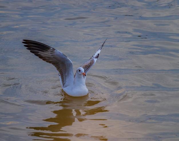 Seagulls lata nad morzem ukazują się w wieczór przy uderzenia pu morzem, tajlandia.