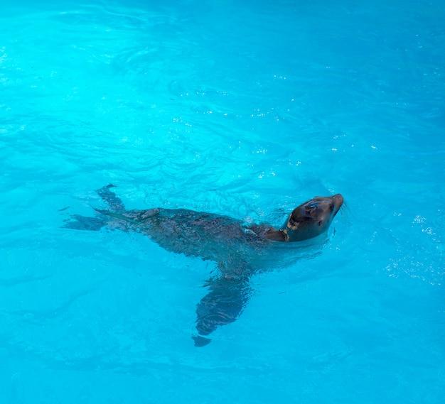 Seal pływanie w błękitnej słonej wodzie