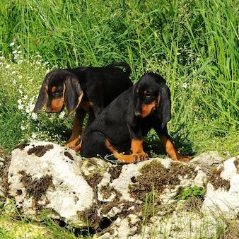 Segugio italiano pies szczeniąt