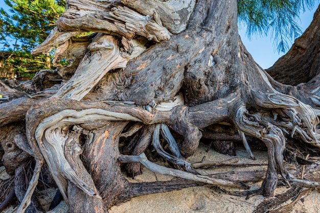 Sękate korzenie sosny na sunset beach