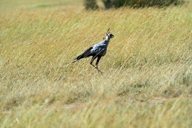 Sekretarz bird w parku narodowym masai mara. kenia. afryka.