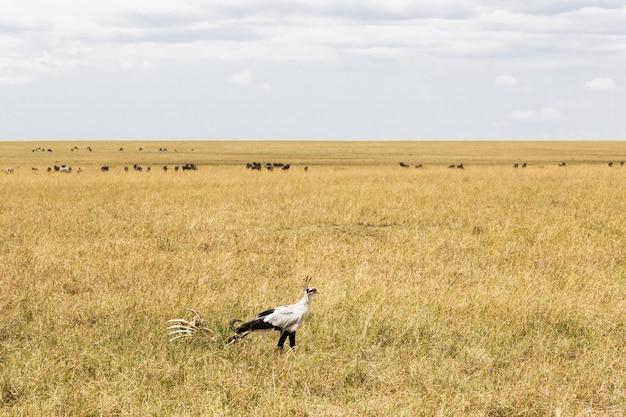 Sekretarz bird w poszukiwaniu zdobyczy kenia afryka