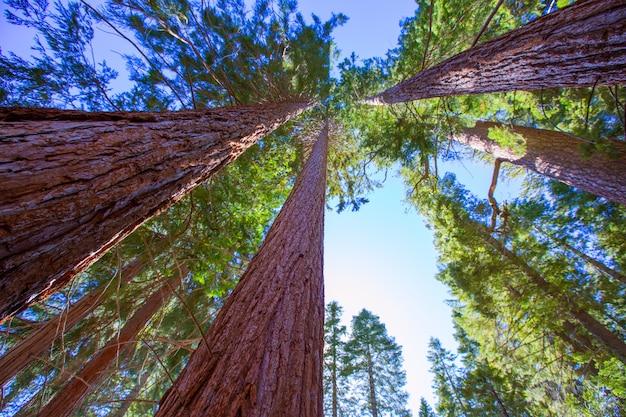 Sekwoje w kalifornii widok spod spodu