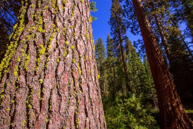 Sekwoje w mariposa gaju przy yosemite kalifornia