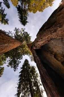 Sekwoje w sequoia national park, kalifornia