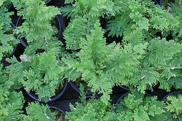 Selaginella willdenowii lub roślina spikemoss willdenowa.