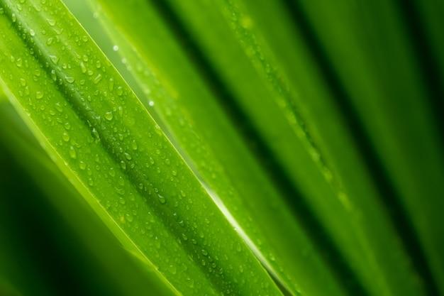 Selective focus świeżych zielonych liści z kroplą deszczu. krople wody lub krople deszczu na zielonych liściach roślin w ogrodzie. tło natura.