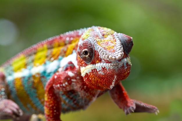 Selekcyjna ostrość phanter kameleon