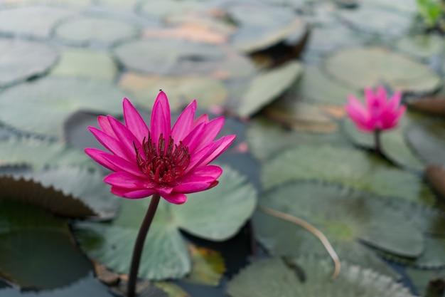 Selekcyjna ostrość piękny kolorowy kwiatu lotos w stawie z lata bokeh tłem.
