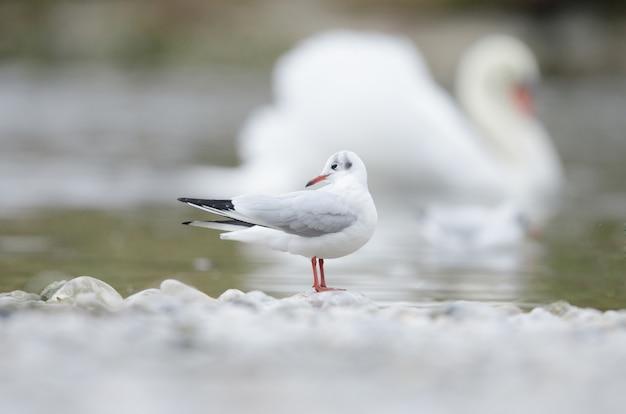 Selekcyjna ostrość seagull pozycja na skale blisko wody