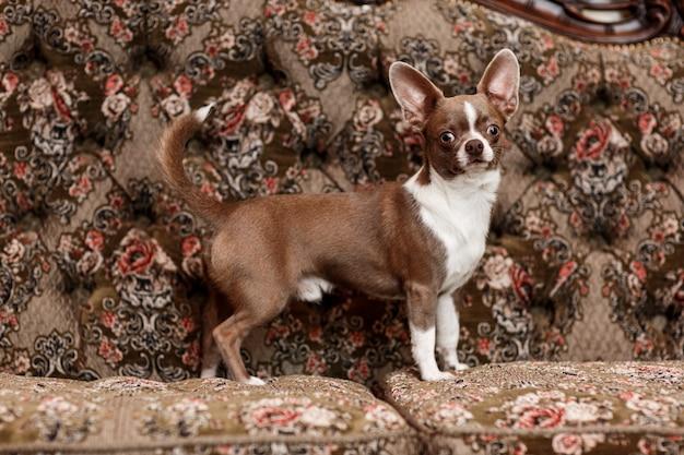 Selekcyjna ostrość śliczny pies na stylowej leżance w mieszkaniu.