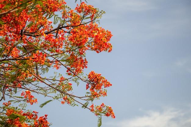 Selekcyjnej ostrości kolorowy delonix regia kwiat w nieba tle.