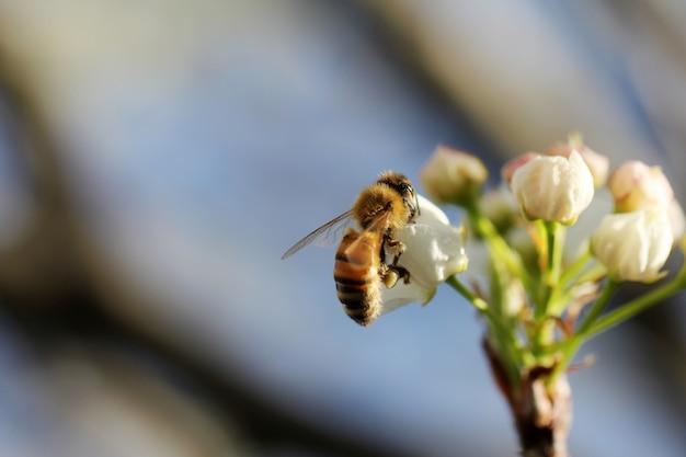 Selekcyjny zbliżenie strzał pszczoły miodnej zbieracki nektar na białym kwiacie
