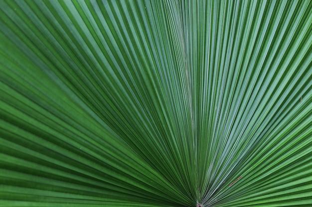 Selektywna fokus na tle dużych zielonych liści palmowych cukru