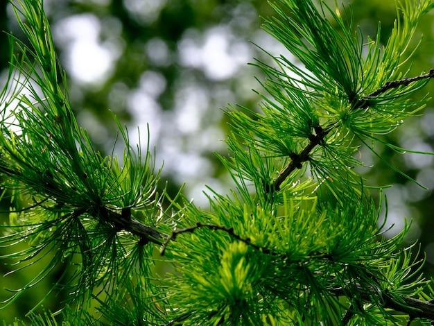 Selektywna koncentracja na młodych zielonych pędach drzewa iglastego w słoneczny letni dzień