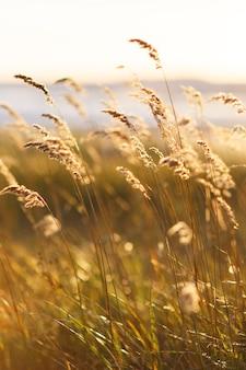 Selektywna miękka ostrość suchej trawy na plaży, trzcin, łodyg wiejących na wietrze przy złotym świetle zachodzącego słońca
