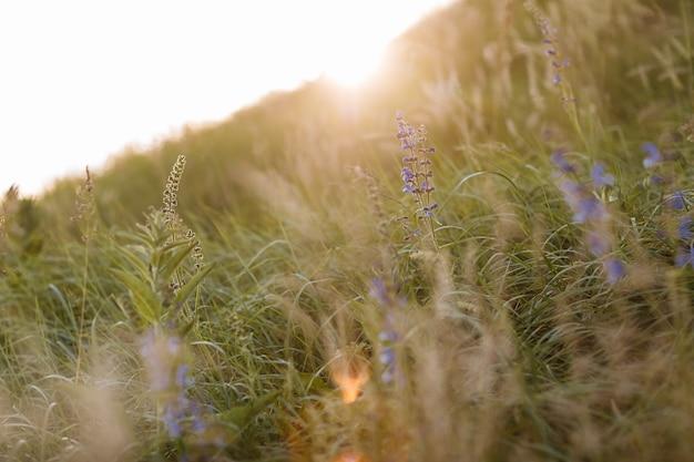Selektywna nieostrość suchej trawy, fioletowe, niebieskie, żywe kwiaty, łodygi wiejące na wietrze w złotym świetle słońca, niewyraźne wzgórza na tle, kopia przestrzeń. natura, lato, koncepcja trawy.