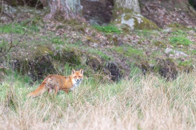 Selektywna ostrość zdjęcia lisa w oddali patrząc w kierunku aparatu w szwecji