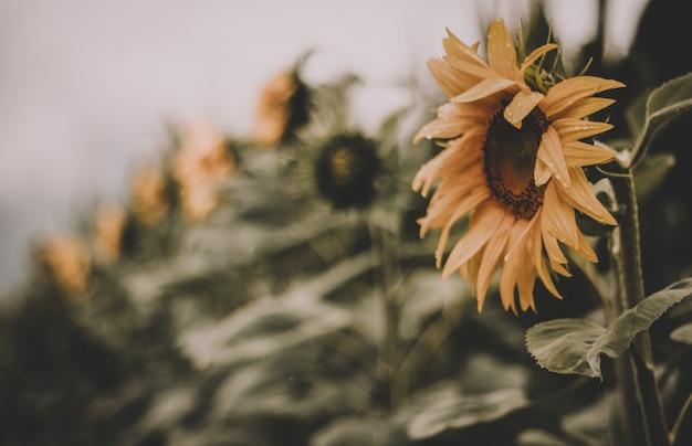 Selektywne focus słonecznik tło