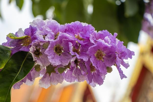 Selektywne fokus lagerstroemia speciosa kwitną w ogrodzie. piękny słodki fioletowy kwiat.