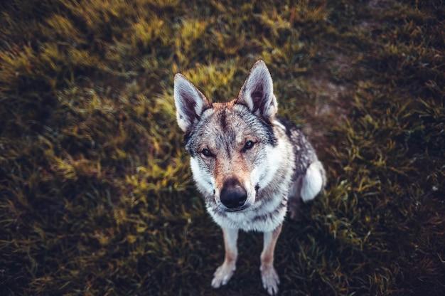 Selektywne fokus strzał brązowy i biały pies siedzi na ziemi i patrząc w górę