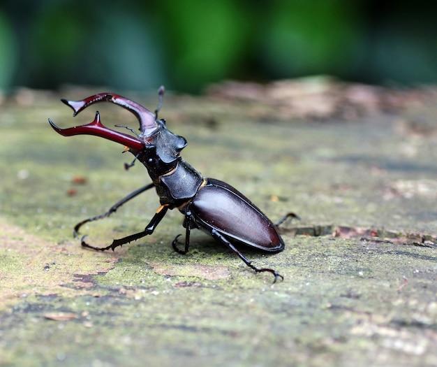 Selektywne fokus strzał chrząszcza jelonka na ziemi