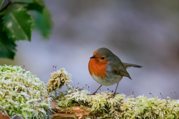 Selektywne fokus strzał cute ptak rudzik siedzący na omszałej gałęzi