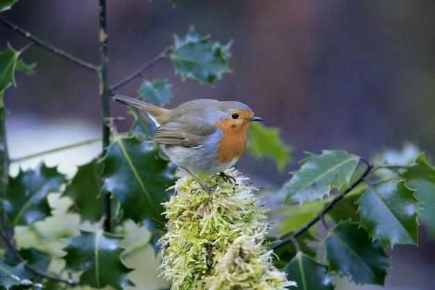 Selektywne fokus strzał cute ptaka robin siedzącego na omszałej gałęzi