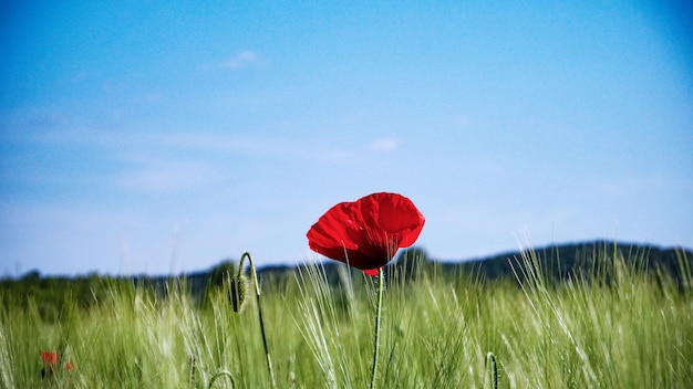 Selektywne fokus strzał czerwonego maku rosnącego na środku greenfield pod bezchmurnym niebem