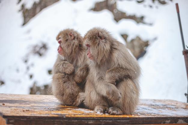 Selektywne fokus strzał dwóch makaków małp siedzących obok siebie