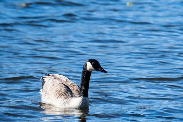Selektywne fokus strzał gęsi kanadyjskiej na niebieskim tle jeziora
