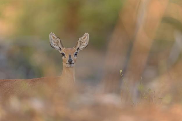 Selektywne fokus strzał jelenia patrząc w kierunku kamery w oddali