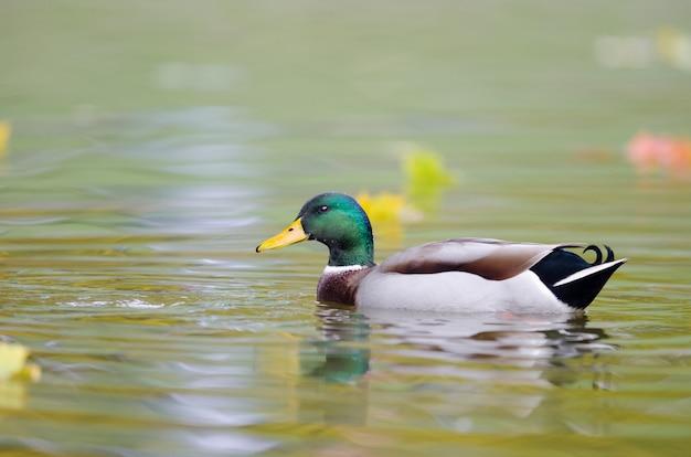 Selektywne fokus strzał kaczki krzyżówki w wodzie