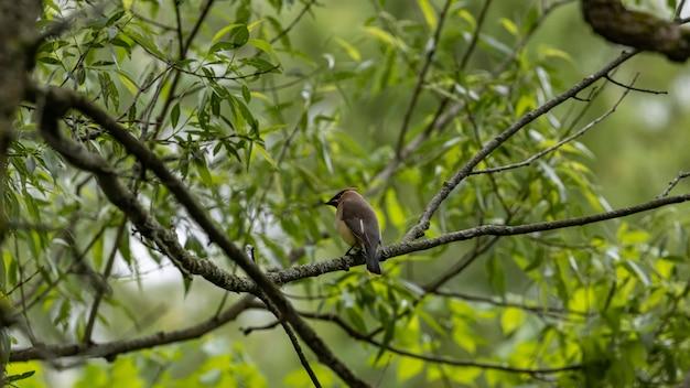 Selektywne fokus strzał kingbird siedzący na gałęzi