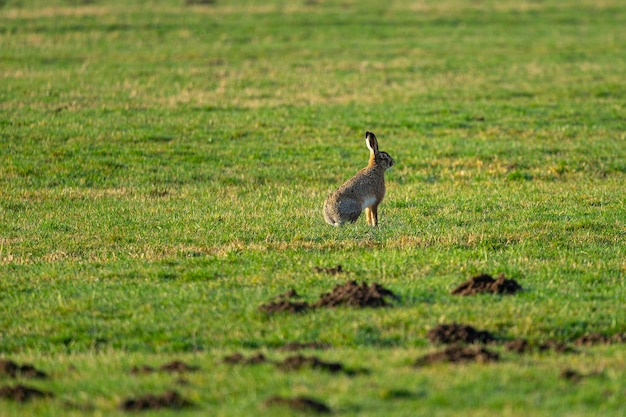 Selektywne fokus strzał królika siedzi na trawie