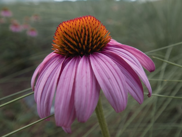 Selektywne fokus strzał kwiat echinacea kwitnący w ogrodzie