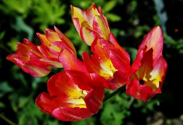 Selektywne fokus strzał kwitnących kwiatów tulipanów sprenger na wyspie mainau