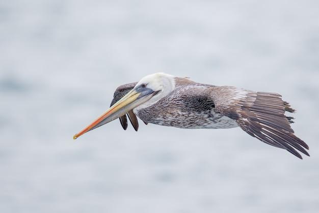 Selektywne fokus strzał latającego pelikana