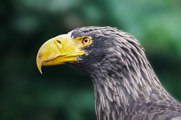 Selektywne fokus strzał orła morskiego stellera