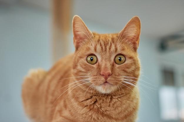 Selektywne fokus strzał piękny kot imbir
