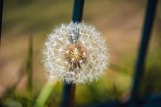 Selektywne fokus strzał piękny mniszek lekarski wśród zielonych roślin w ogrodzie